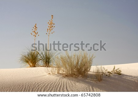 Soaptree Yucca in the Morning Light at White Sands New Mexico