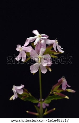 Soapwort, Saponaria caespitosa, is an important medicinal and medicinal plant and with white flowers.