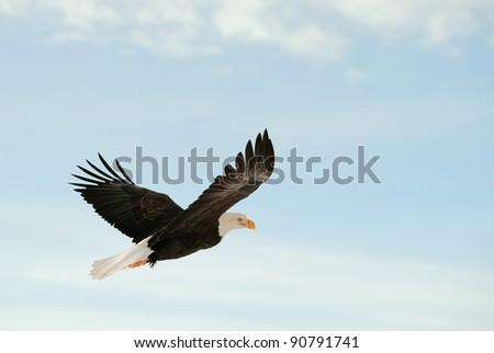 Soaring bald eagle ( Haliaeetus leucocephalus ). Against a blue sky
