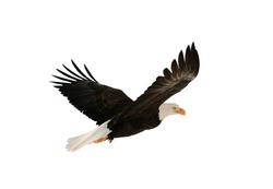 Soaring bald eagle ( Haliaeetus leucocephalus ) isolated on the white. Against a white background