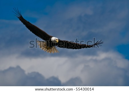 Soaring bald eagle looking down
