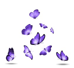 Soaring purple butterflies isolated on white background. High quality photo