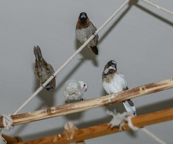 society finches perching on a swing from ropes and twigs