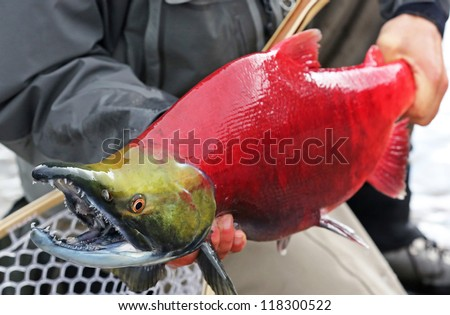 Sockeye Salmon Oncorhynchus Nerka - stock photo