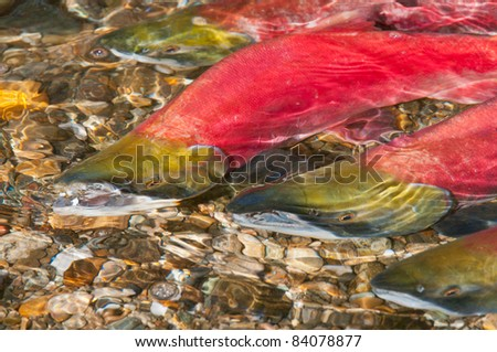 Sockeye Salmon swimming Upstream to their Spawning Grounds