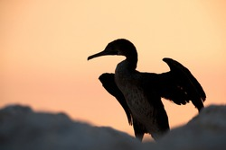Socotra cormorant during sunrise, Bahrain