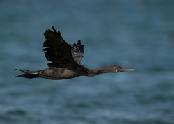 Socotra cormorant flying at Busaiteen coast, Bahrain