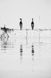Socotra cormorants at Busaiteen coast, Bahrain. A highkey image