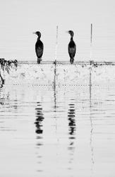 Socotra cormorants perched on fishing net at Busaiteen coast, Bahrain. A highkey image
