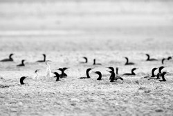 Socotra Cormorants with chicks at Hawar island, Bahrain. A highkey image.