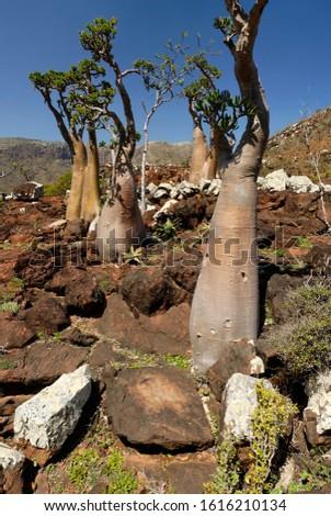 Socotra Desert Rose or Bottle Tree, adenium obesum sokotranum, Socotra island, UNESCO World Heritage Site, Yemen
