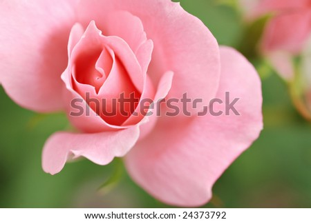 Soft abstract image of pastel pink rose in outdoor garden.  Extremely shallow dof with focus limited to center edges.