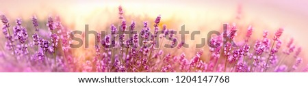 Soft and selective focus on lavender flower, beautiful lavender in flower garden #1204147768