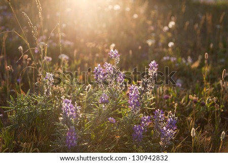 Soft back lighting from the sun creates a spotlight effect on wild purple lupine flowers growing in a meadow in Glacier National Park, Montana.