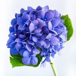 Soft blue Hydrangea on white background