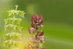 Soft blurred and soft focus of sweet basil and Holy Basil ,Sacred Basil,flower with the green copy space and the beam, light and lens flare effect tone background.Thai herb and Thai vegetable.