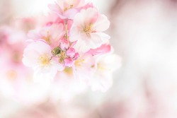 Soft cherry blossoms as background with free space
