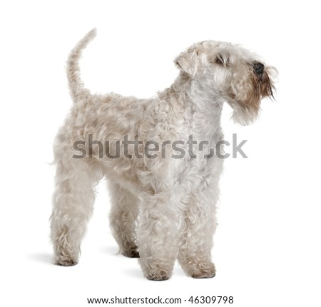 Soft-Coated Wheaten Terrier, 3 years old, standing in front of white background - stock photo