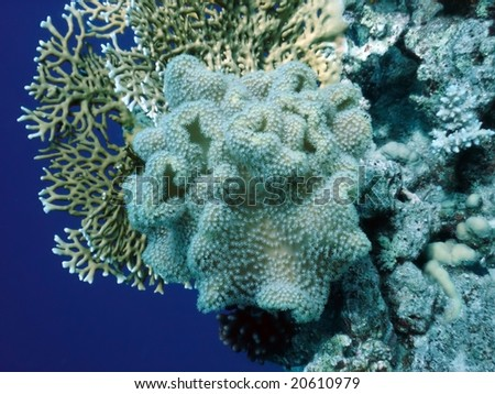 soft coral polyp with other corals