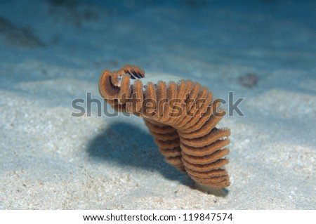 Soft coral, sea pens (Pteropdes sp.)