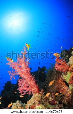 Soft Corals and Anemone in Red Sea