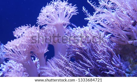 Soft corals in aquarium. Closeup Anthelia and Euphyllia corals in clean blue water. marine underwater life. Violet natural background, copy space selective focus, endangered species, global warming