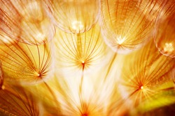 Soft dandelion flower, extreme closeup, abstract spring nature background