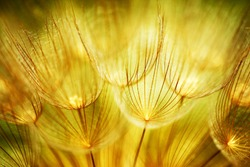 Soft dandelions flower, extreme closeup, abstract spring nature background