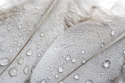 Soft Feathers With Dew