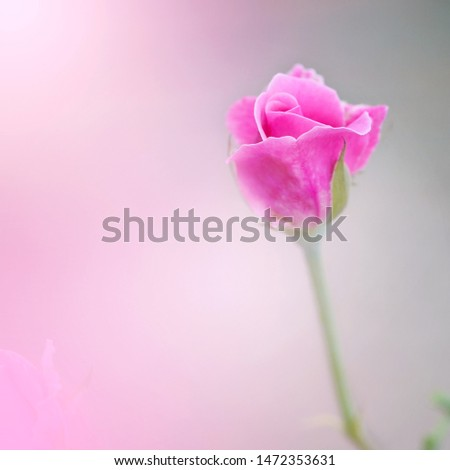 Soft flowers in soft style. Beautiful Flowers on soft sparkle in soft focus with filter colors. Pink rose flower stand alone in garden.