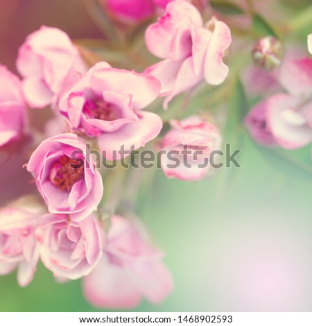 Soft flowers in soft style. Beautiful Flowers on soft sparkle in soft focus with filter colors use for Love and Valentine's Day Concept background.