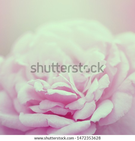 Soft flowers in soft style. Beautiful Flowers on soft sparkle in soft focus with filter colors use for Love and Valentine's Day Concept background. Rose flower in vintage style.