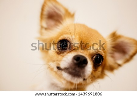 Soft focus a gold chihuahua dog. Chihuahua is the smallest breed recognized. #1439691806