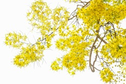 Soft focus and light of Golden shower flower in summer on tree with clear white sky background is bloom flowering plant in the family Fabaceae.yellow bouquet. Thailand national flowers.