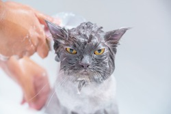 Soft focus and noise and grain. Hairdresser doing beauty care angry wet relaxing a bath or beauty salon for boring persian cat or kitten and Yellow eyes fierce or shower in groomer salon grooming.