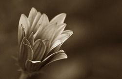 soft focus and shallow daisy in brown sepia