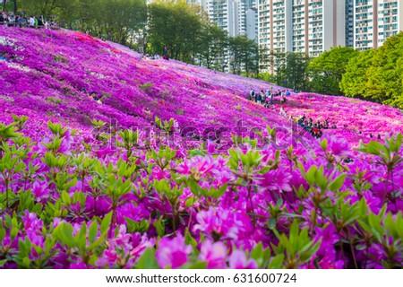 Soft focus azalea flower or pink rhododendron tree blossoms in springtime. Azalea in the park. Seoul,Korea
