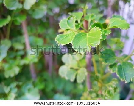 Soft Focus green leaves as a background (Polyscias Guilfoylei, Quercifolia or Geranium Aralia), Ecological Concept, Natural green wallpaper, Abstract leaves texture, Ecological Concept, #1095016034