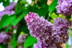 Soft focus image of blossoming branch of a pink lilac. Spring blooming lilac tree flowers. Lilac blossom in spring.