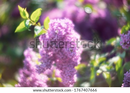 Soft focus image of blossoming branch of a purple lilac. Spring blooming lilac tree flowers. Lilac blossom in spring.