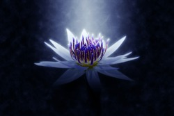 Soft focus image of waterlily Hybrid flower in the dark light. (Nymphaca nouchali Burm.)