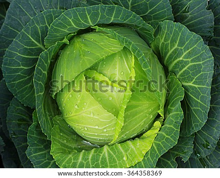 Soft focus of Big cabbage in the garden