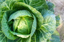 Soft focus of Big cabbage on the ground in the morning with mild sunshine in the garden.Head of green fresh cabbage.Organic vegetables.