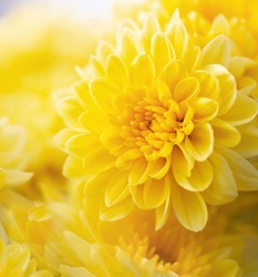 Soft focus of blossom of yellow mums or chrysanthemum flowers.Macro photography with very shallow depth of field composition,square format.
