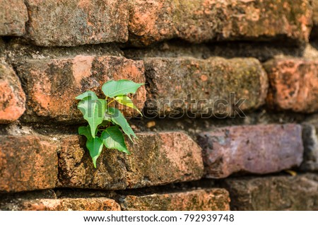 Soft focus of bodhi grow on old brick wall (naturally have to adapt to survive) for background.