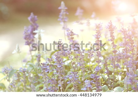 Soft focus of summer flowers, Lavender field and adjust with vintage filter #448134979