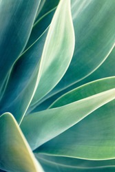 Soft focus on agave plant, different shades of green leaves