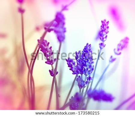 Soft focus on lavender (de focused)