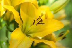 Soft focus Shallow DOF photography of yellow lily flower