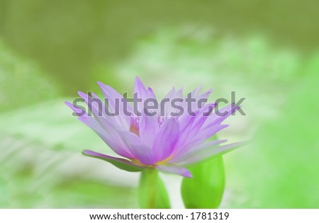 Soft focused photo of a blue water lily - impressionist Monet effect